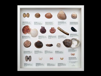 Bivalve Seashells of Europe