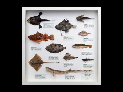 Marine Fish of Europe